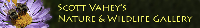 Scott Vahey's Nature & Wildlife Gallery